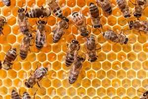 honeybees-small